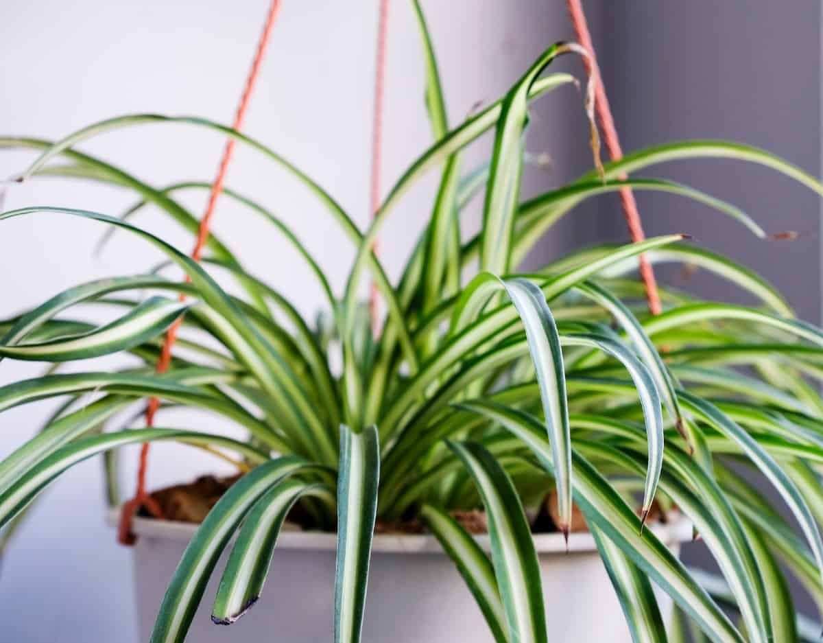 Spider plants are unusual-looking.
