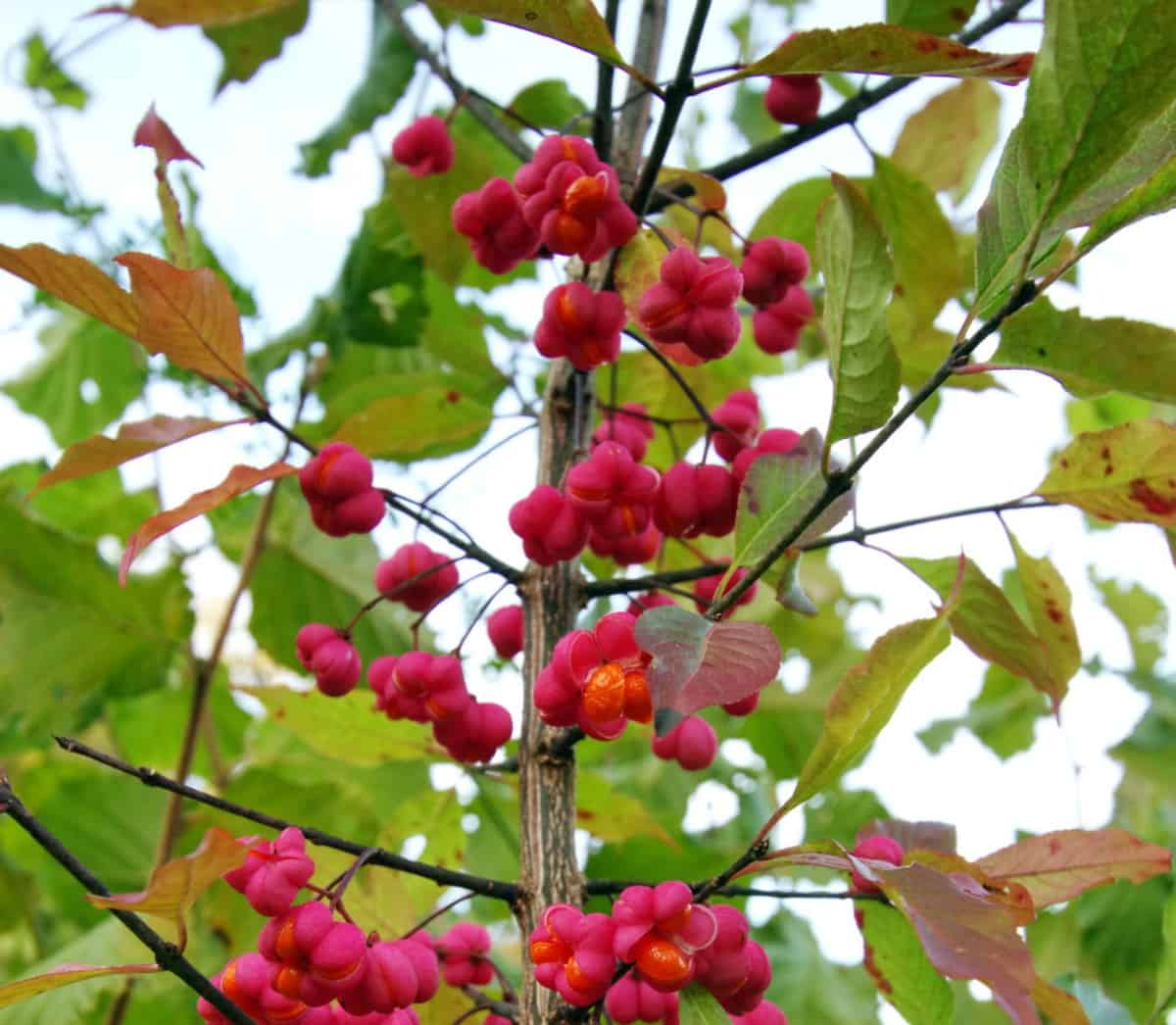 Birds enjoy snacking on the ornamental berries of the spindle tree.