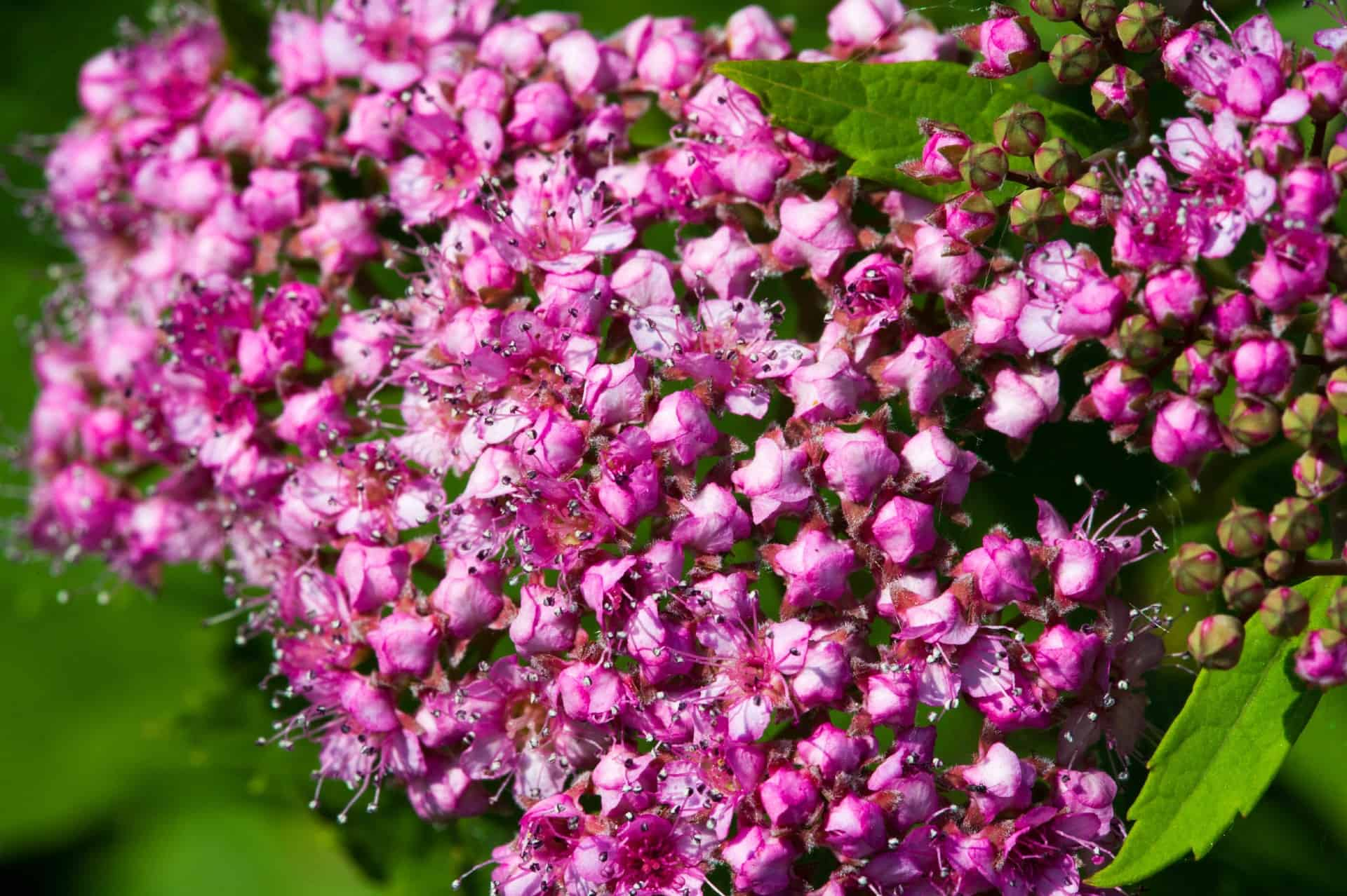 Spirea shrubs are fast growers.