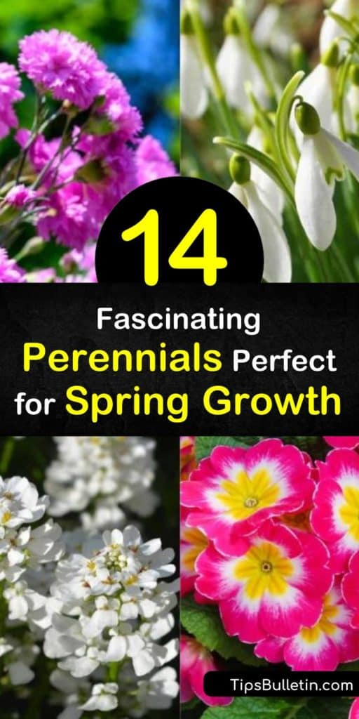 Discover gorgeous spring blooming perennials like the Bleeding Heart and Dianthus. Learn which flowers make the best groundcover and which make fantastic statement pieces. Plant them in early or late spring with a variety of colors from which to choose. #spring #blooming #perennials #gardening