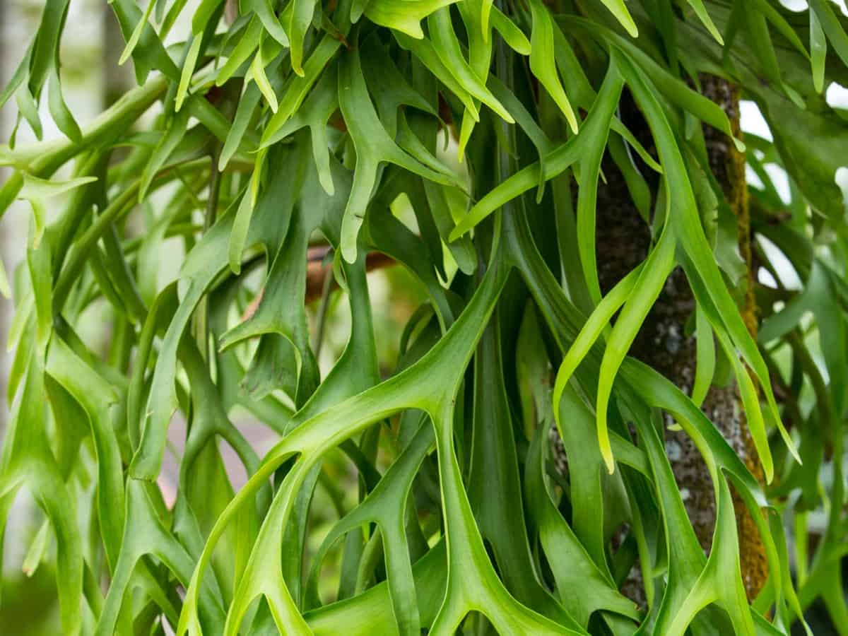 Staghorn ferns have two types of leaves.