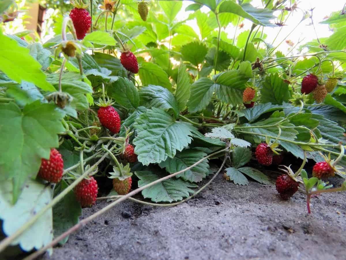 Strawberries spread through runners.