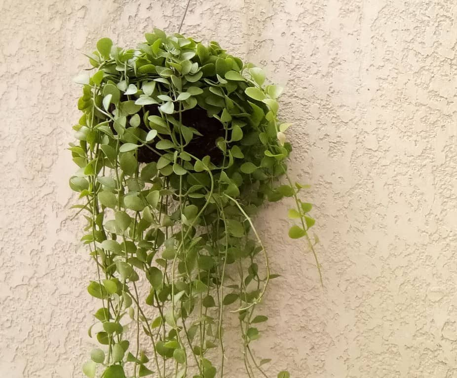 String of nickels is perfect as a hanging plant.