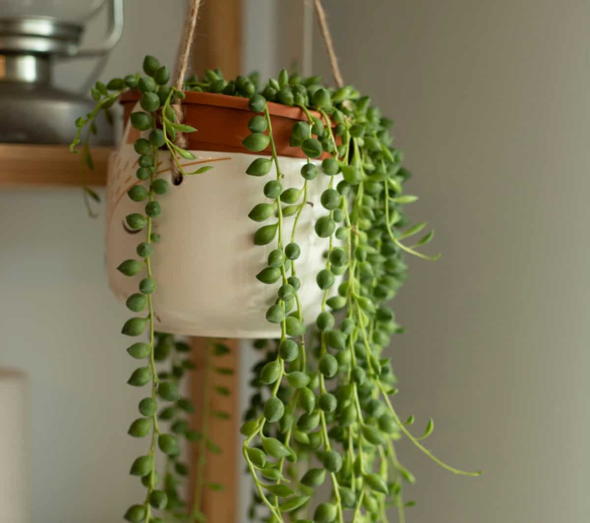 String of pearls is a trailing succulent.