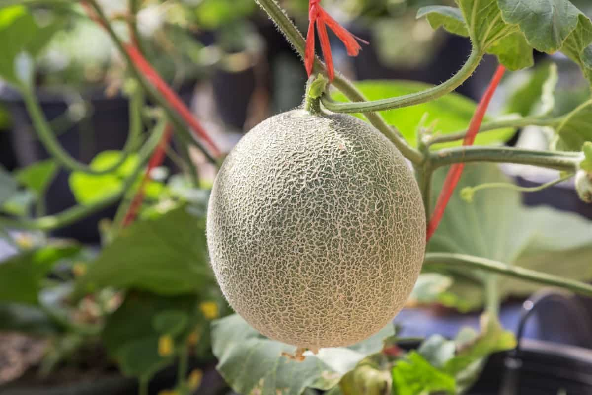 Get personal-sized fruit from the sugar cube cantaloupe vine.