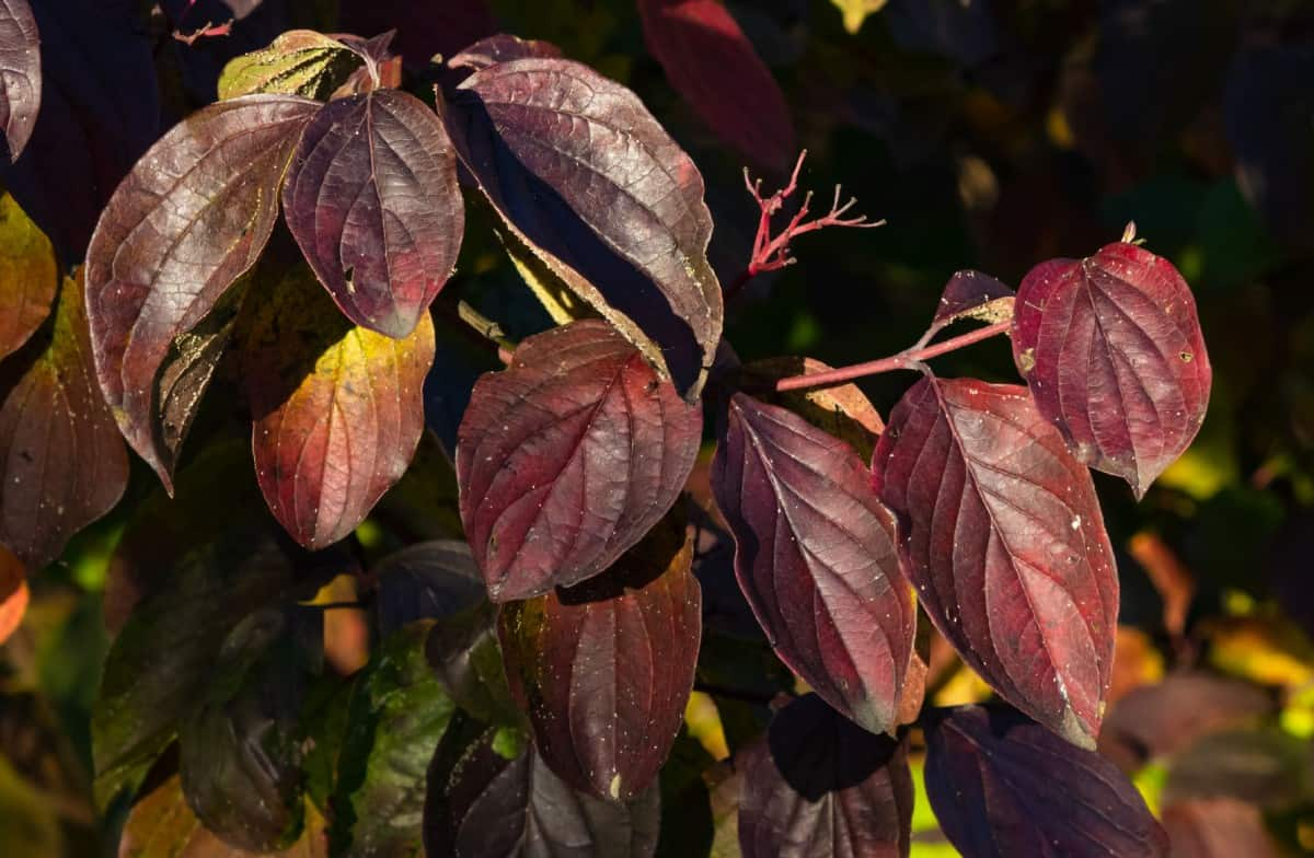 The Tatarian dogwood changes color according to the season.