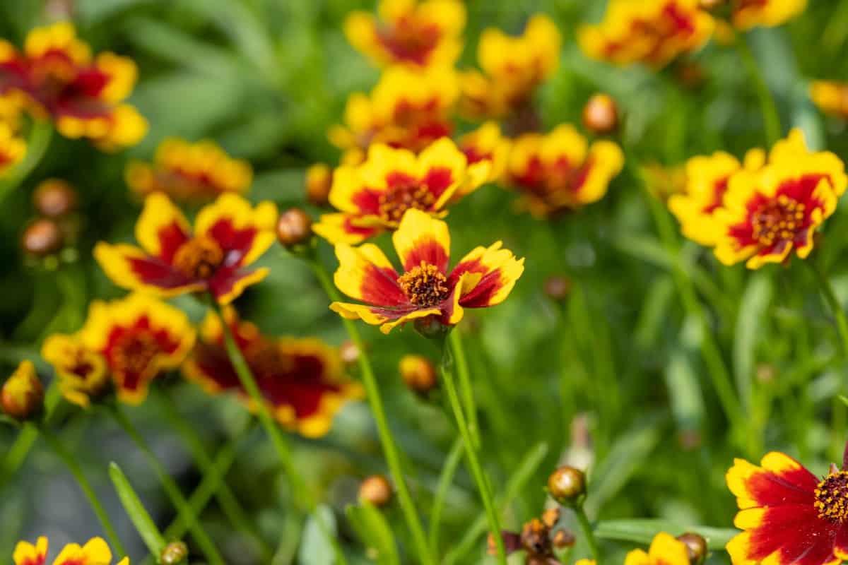 Tickseed is a daisy-like perennial.