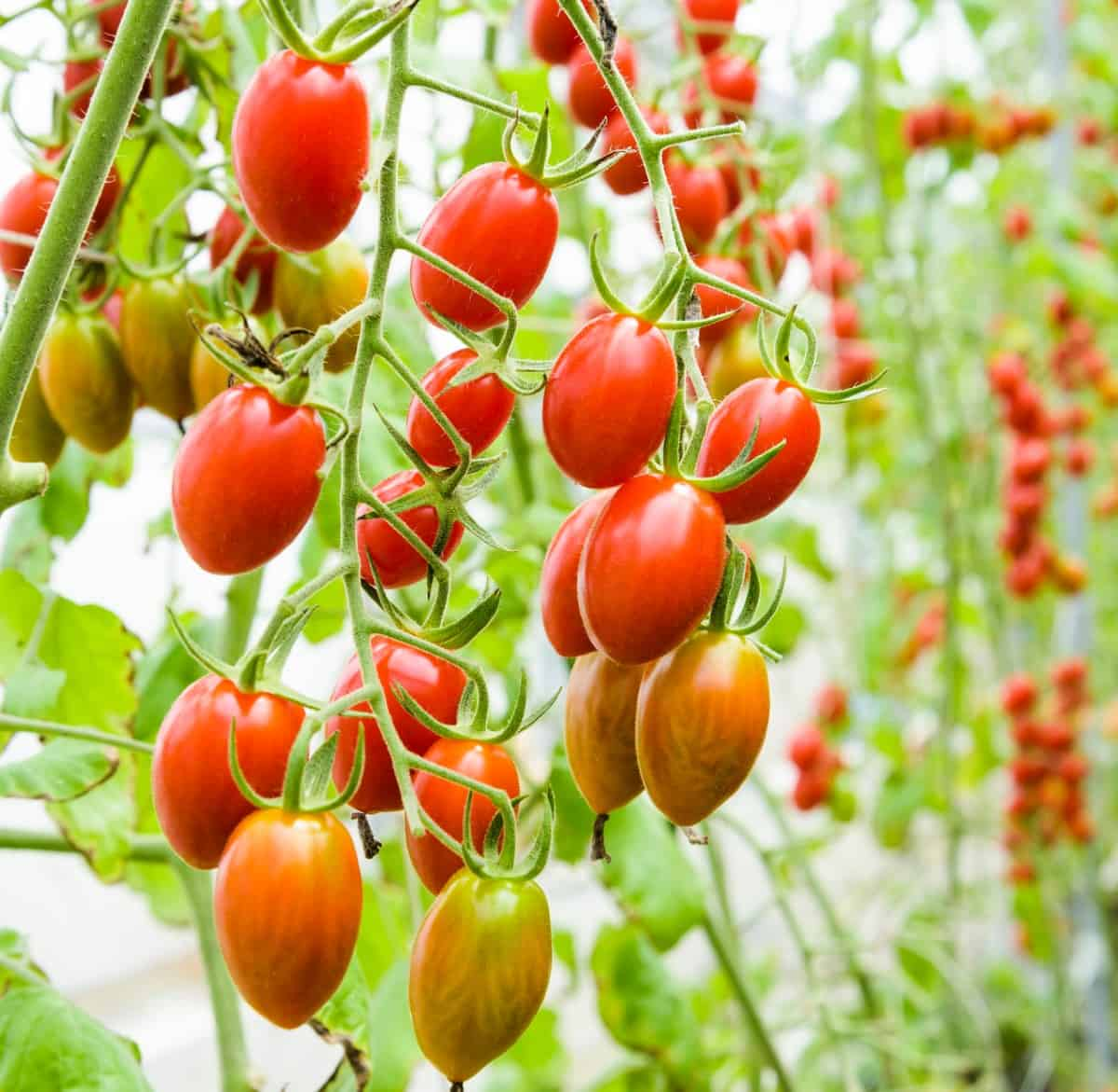 The tomato is actually a fruit rather than a vegetable.