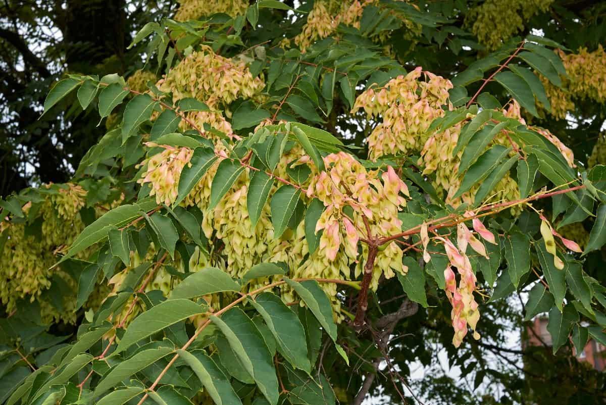 Tree of heaven is an ornamental fast-growing tree.