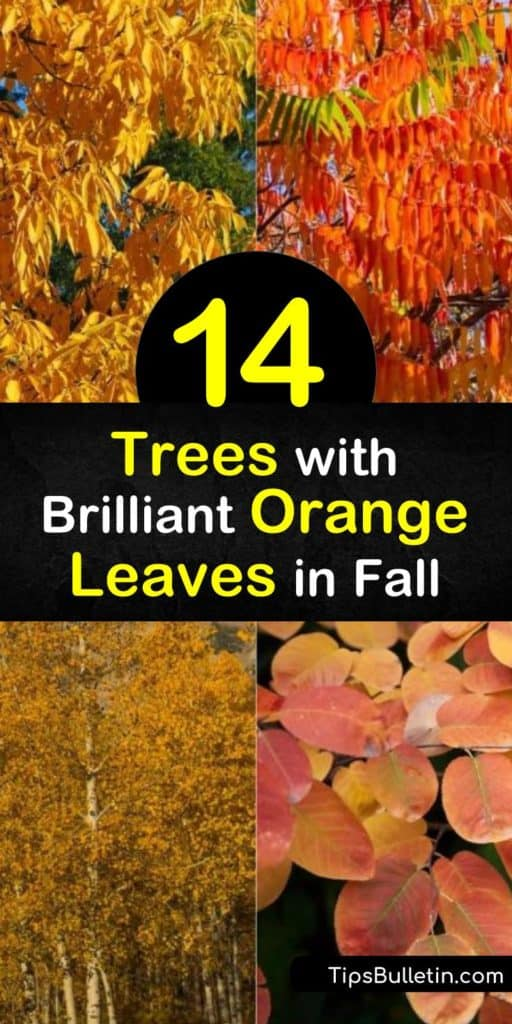 Discover how to create a fiery fall landscape with orange foliage trees. Plant full sun trees such as red maple, dogwood (Cornus), Japanese maple, and sumac and enjoy vibrant orange leaf color during the autumn months. #trees #orange #leaves #fall