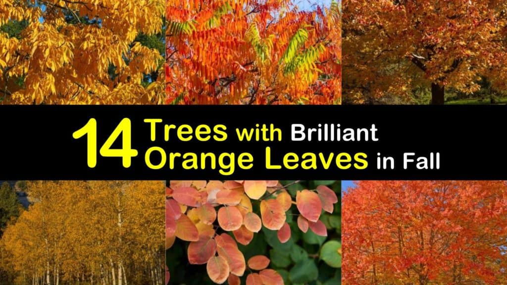 Trees with Orange Leaves titleimg1