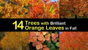 Trees with Orange Leaves titleimg1