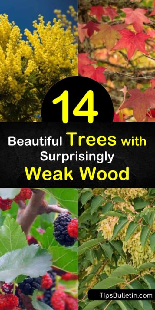 These trees with weak wood make maintenance that much more difficult to keep up in yards. Trees like Siberian Elm and ash trees become more susceptible to pests and disease than others. Weak branches may damage parts of your home or other structures if not properly upheld. #weak #wood #trees