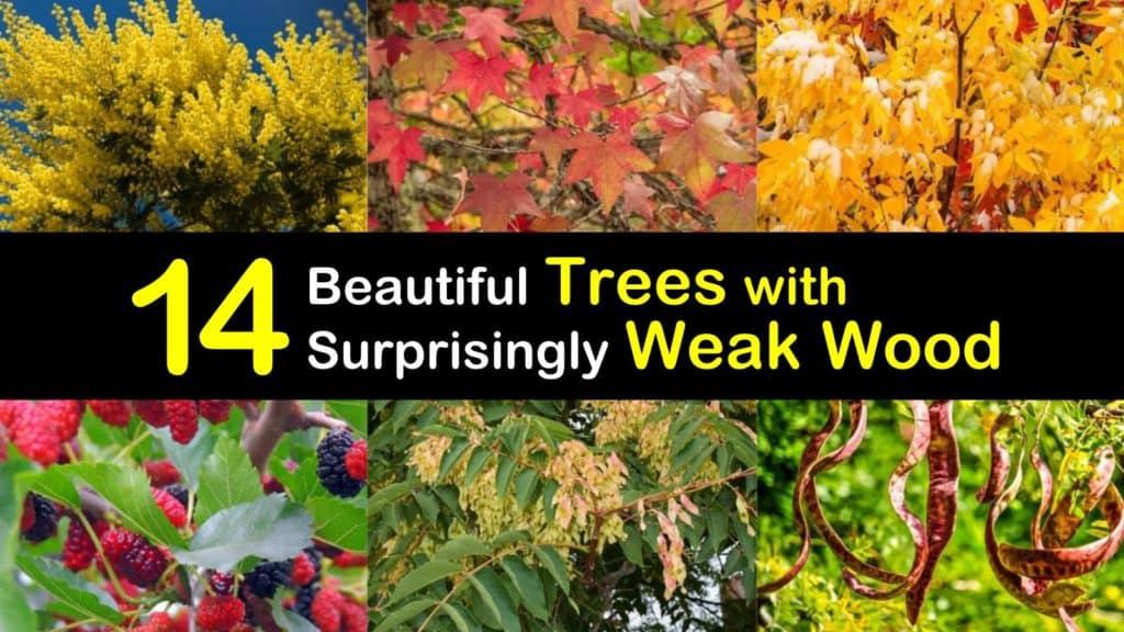 Trees with Weak Wood titleimg1