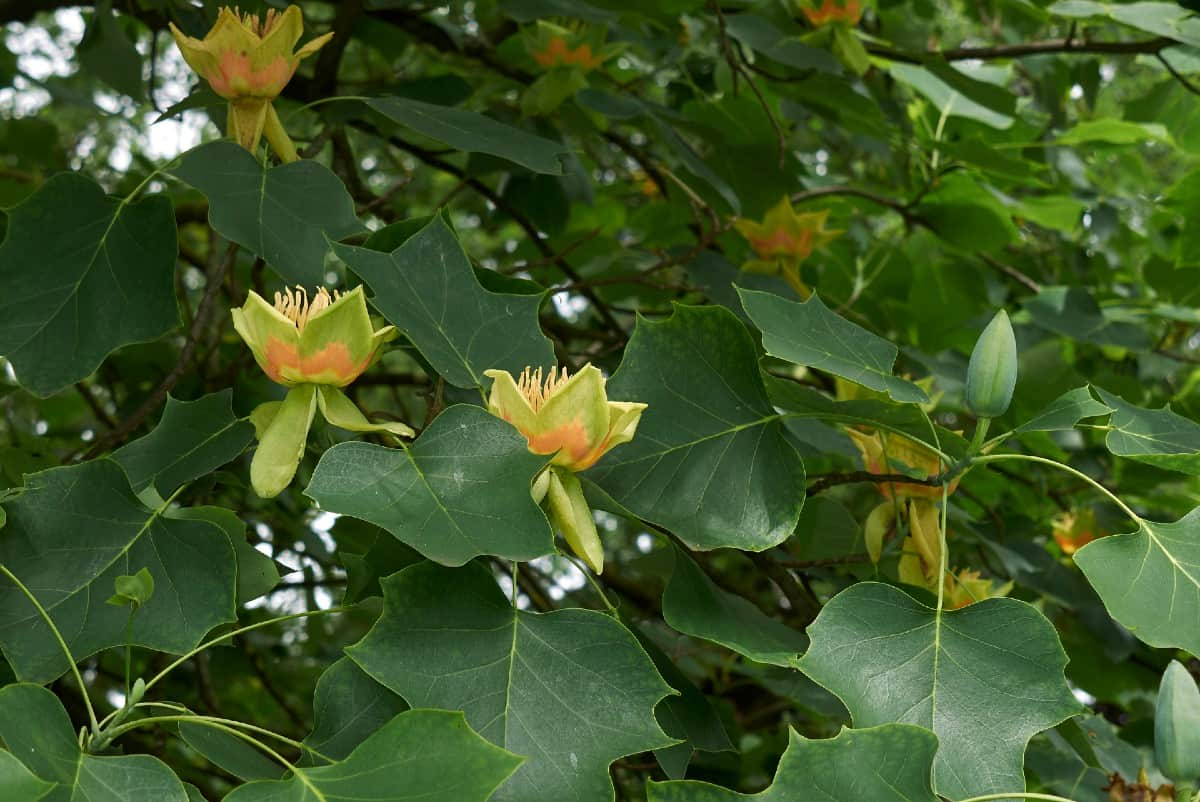 Tulip trees are used for their strong wood.