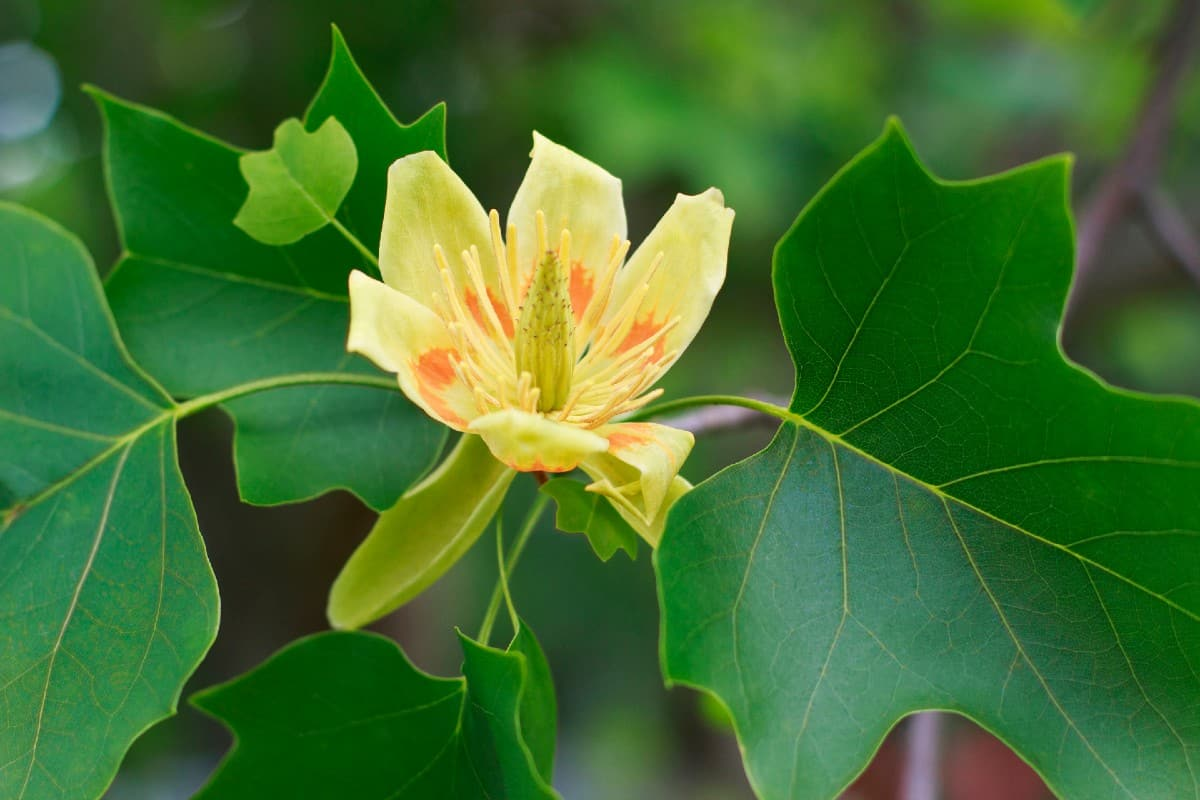 Tulip tree leaves turn yellow in fall.