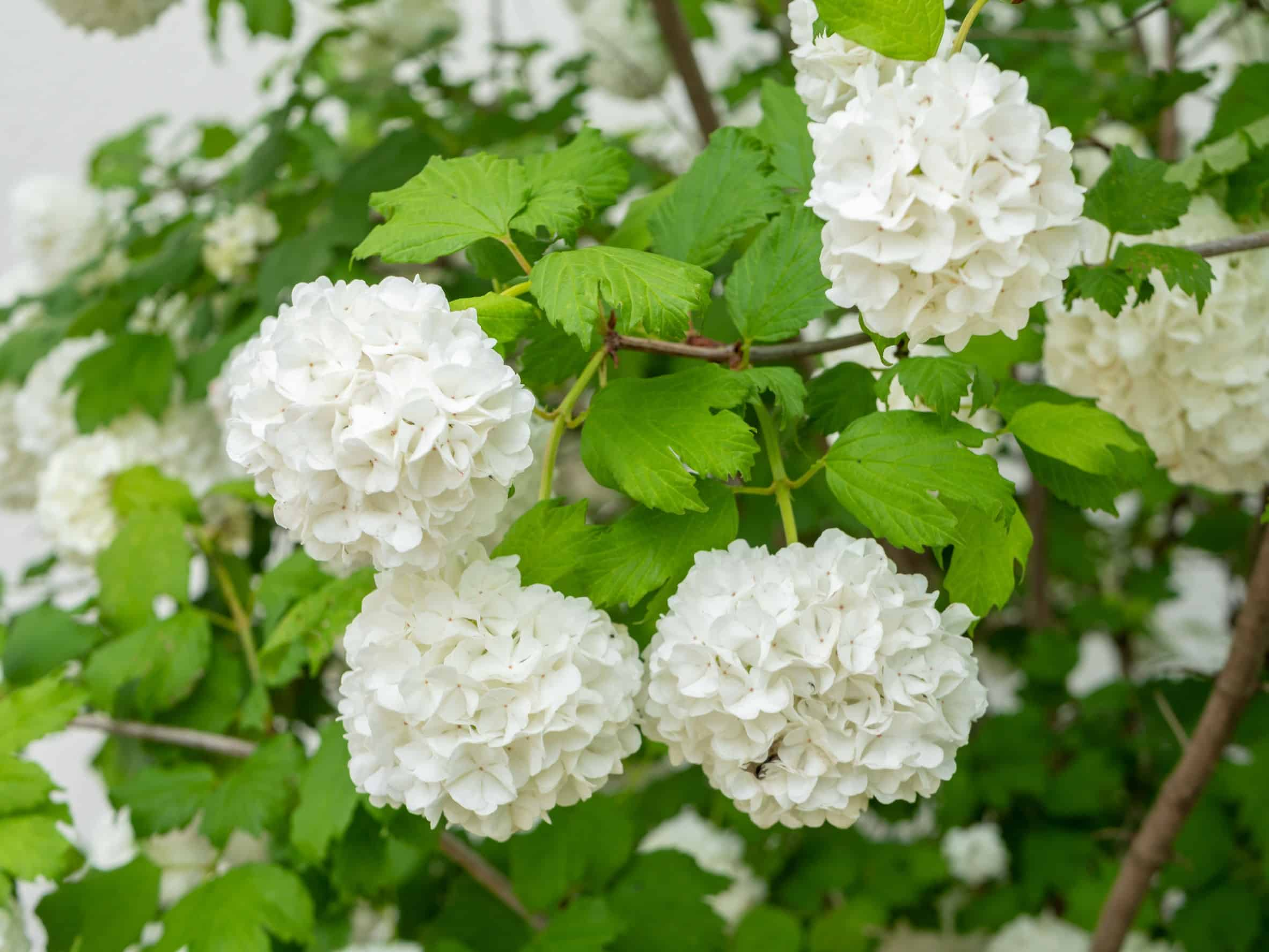 Viburnum is a colorful and adaptable shrub.