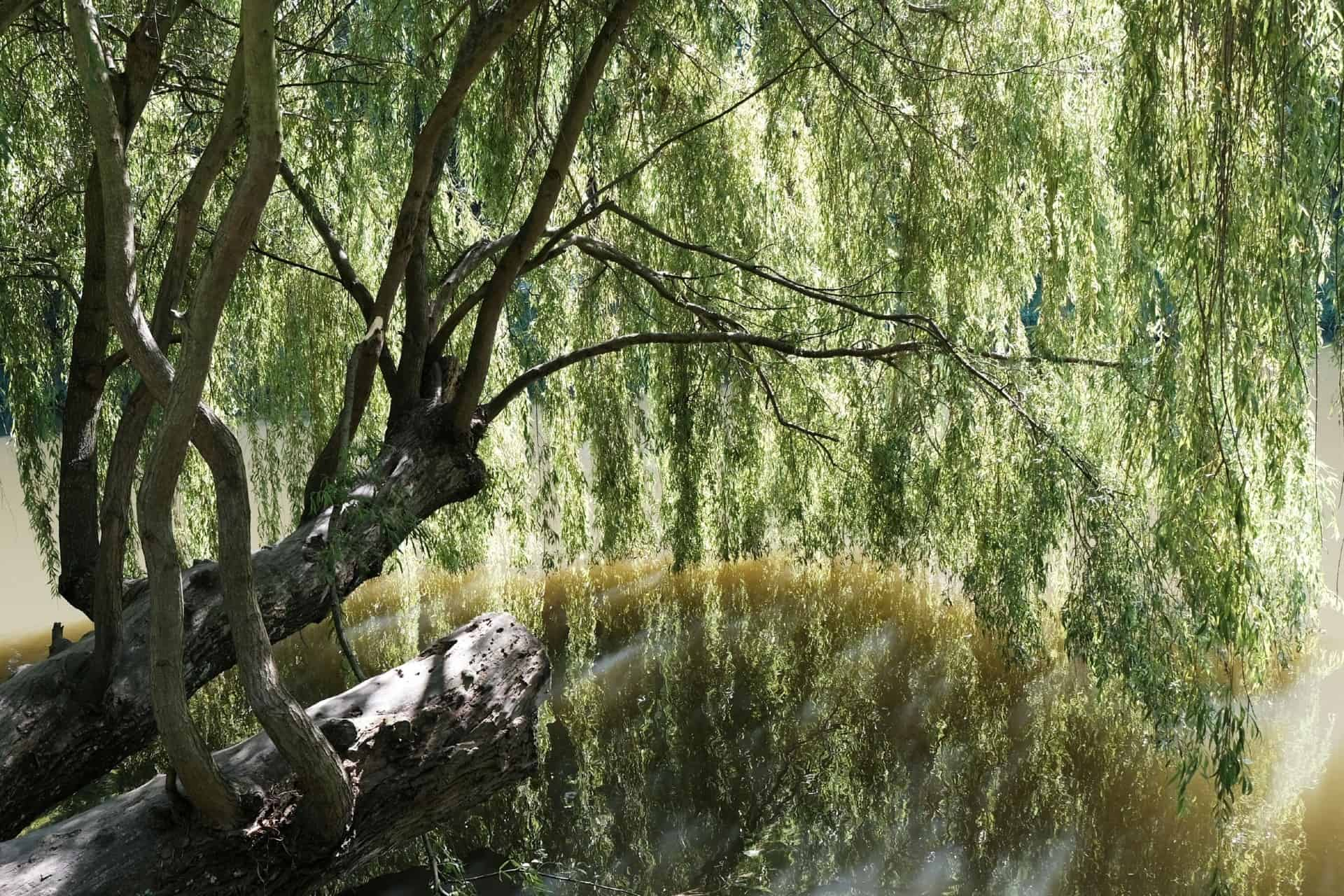 Weeping willow has stunning droopy leaves.