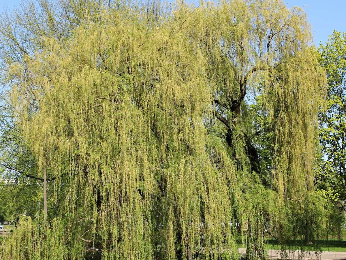 Weeping willows have attractive drooping branches.