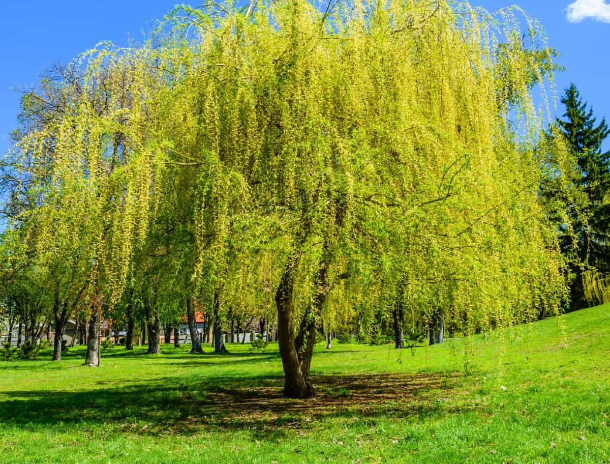 Weeping willows are beautiful but messy shade trees.