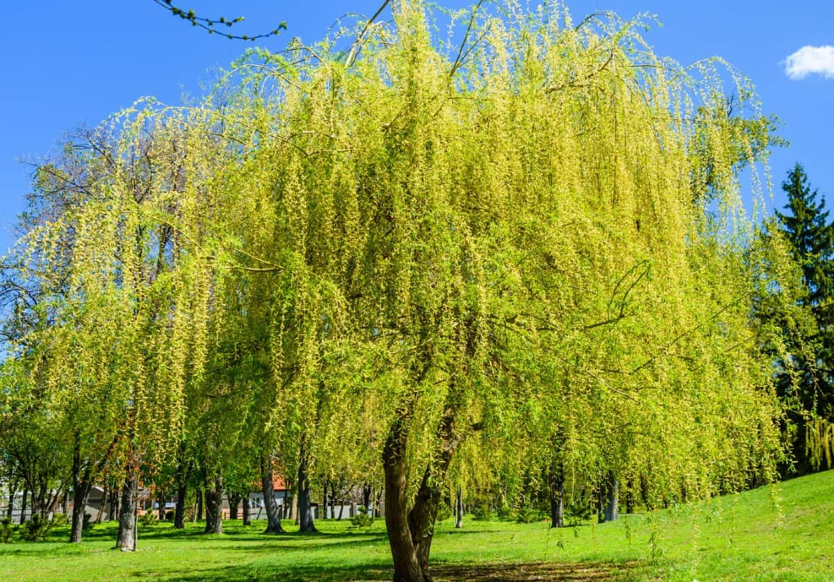 The weeping willow has elegant drooping branches.