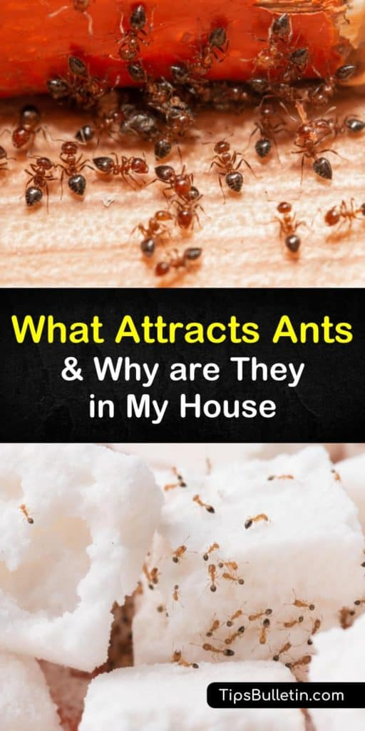 Become the king of the ant colony by eliminating their food source, water sources, and main entry points that are causing an ant infestation. This article has everything you need to know about pest management and shows you how to close open crevices and trap ants for good. #what #attracts #ants