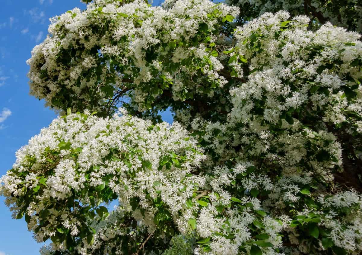 The white fringetree has tassel-like white flowers.