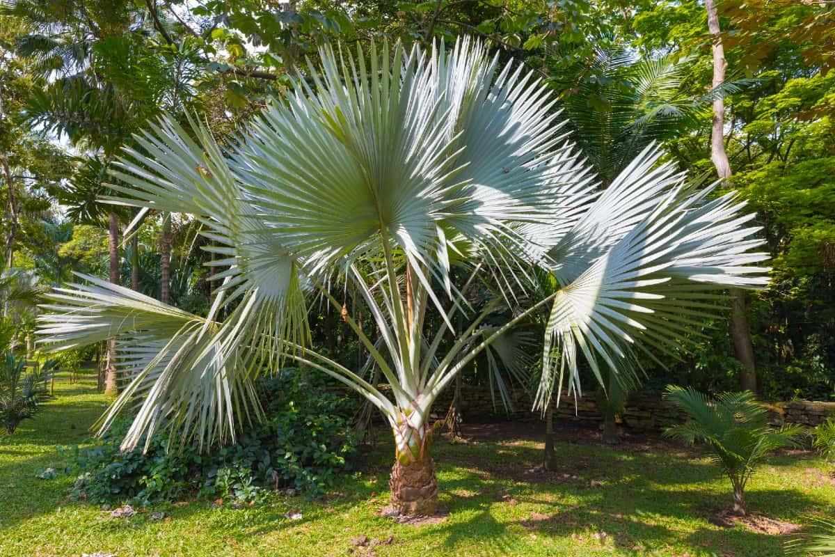Windmill palms are a hardy palm tree species.