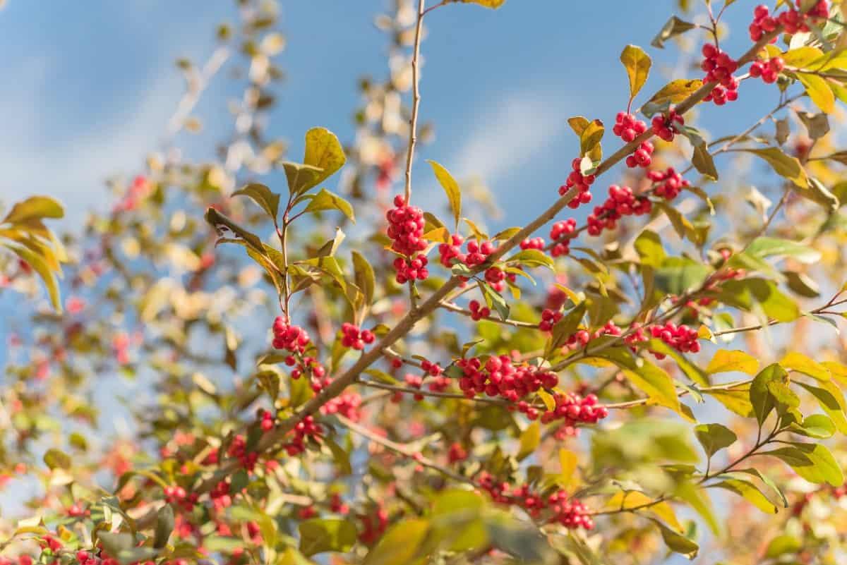 Winterberry has multi-season interest.