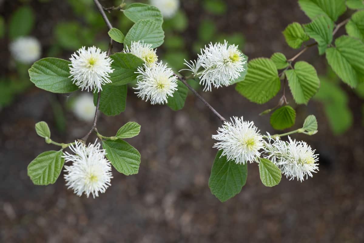 Witch-alder has fringe-like flowers.
