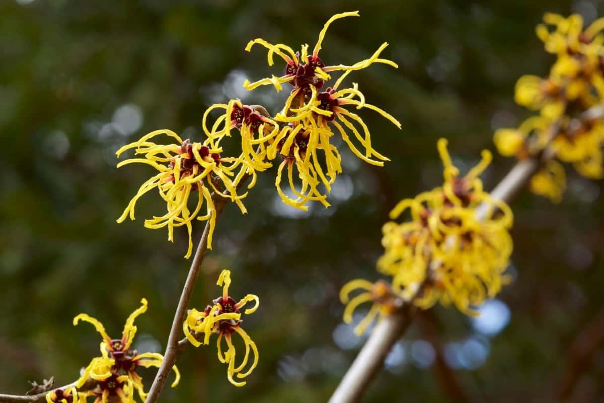 Witch hazel has unusual-looking flowers.