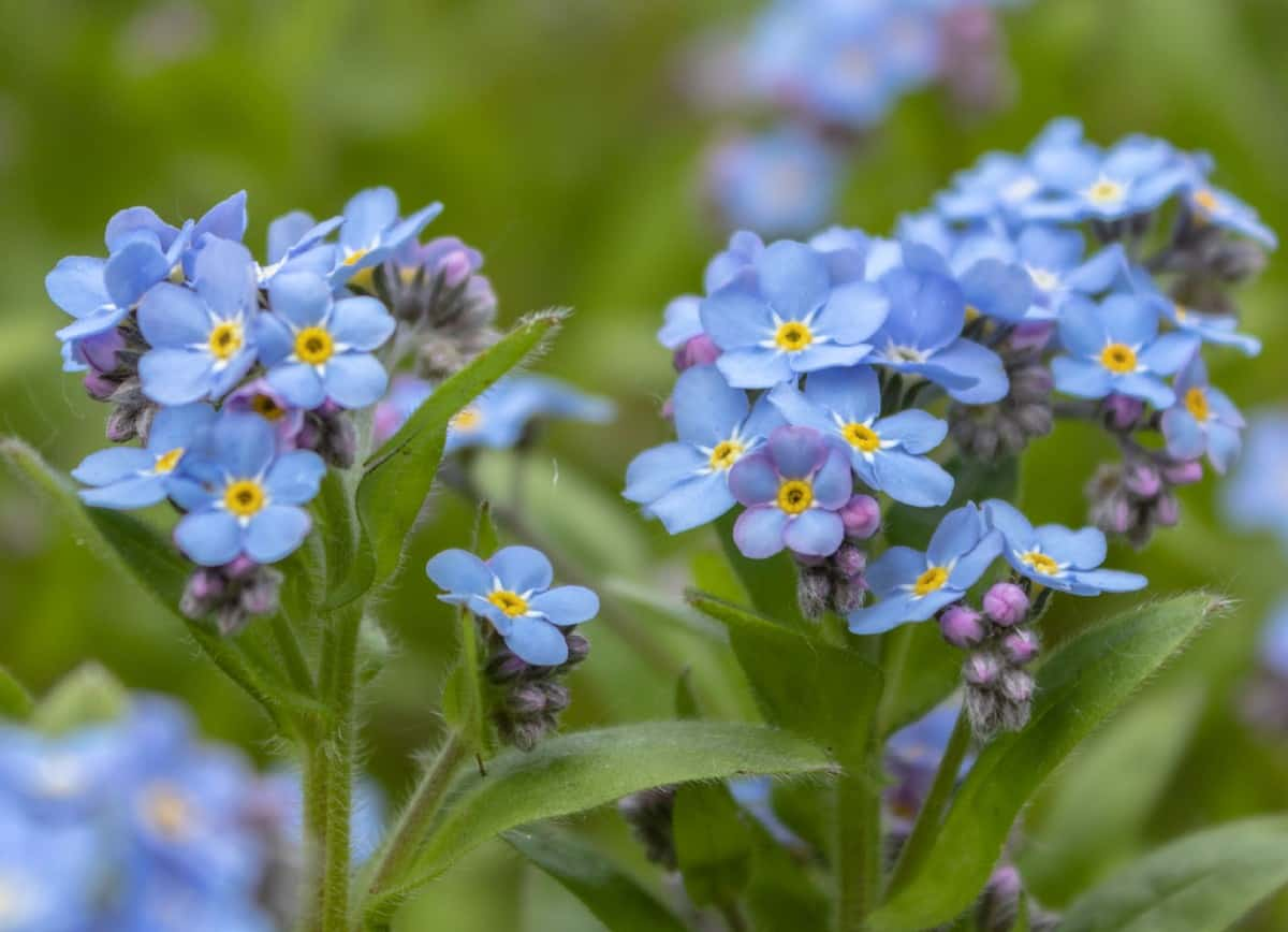 Wood forget-me-nots are annuals that easily reseed.