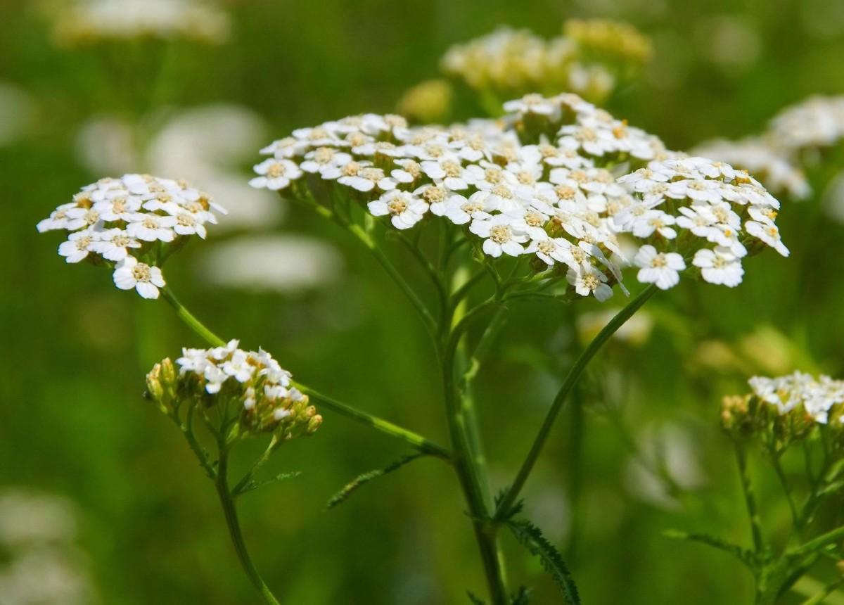 Yarrow is a popular perennial wildflower.