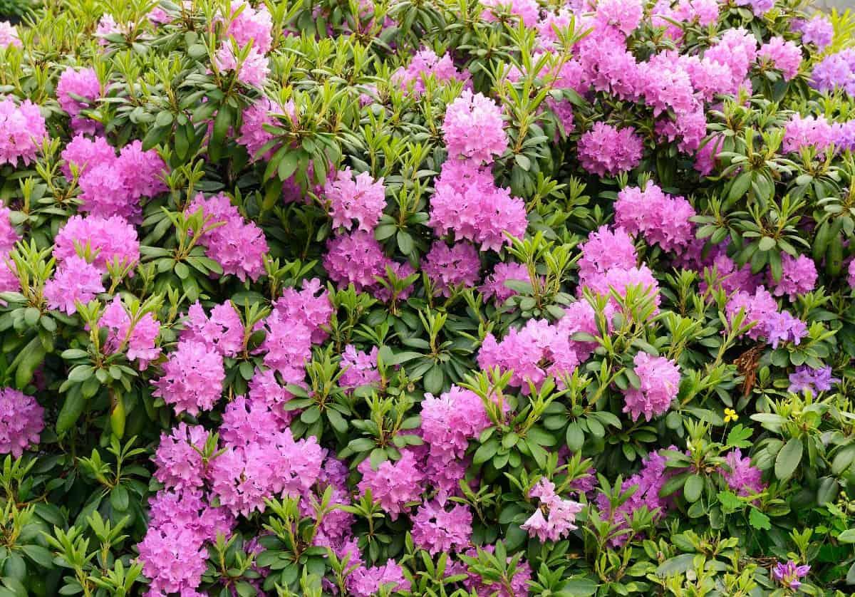 Azaleas are popular perennials.