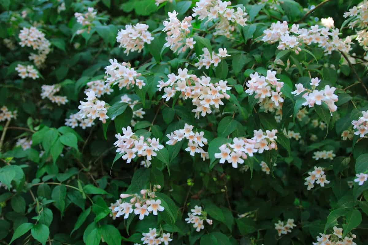 The beauty bush is a fast grower with lovely flowers.