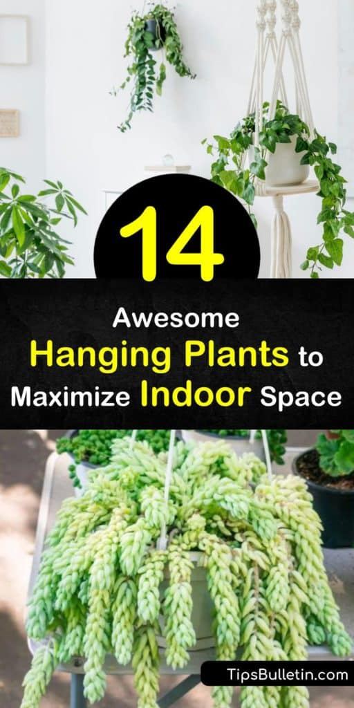 Discover the perfect indoor hanging plants to perk up your living space and next hanging basket. Amazing options for houseplants include the trailing string of pearls plant, the arching spider plant, low-maintenance succulents, and unique air plants. #hanging #plants #indoors