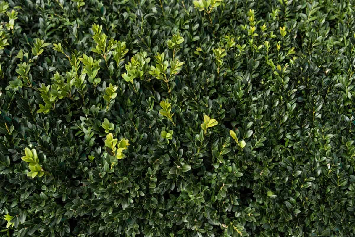 The boxwood is an easy screening shrub to grow.