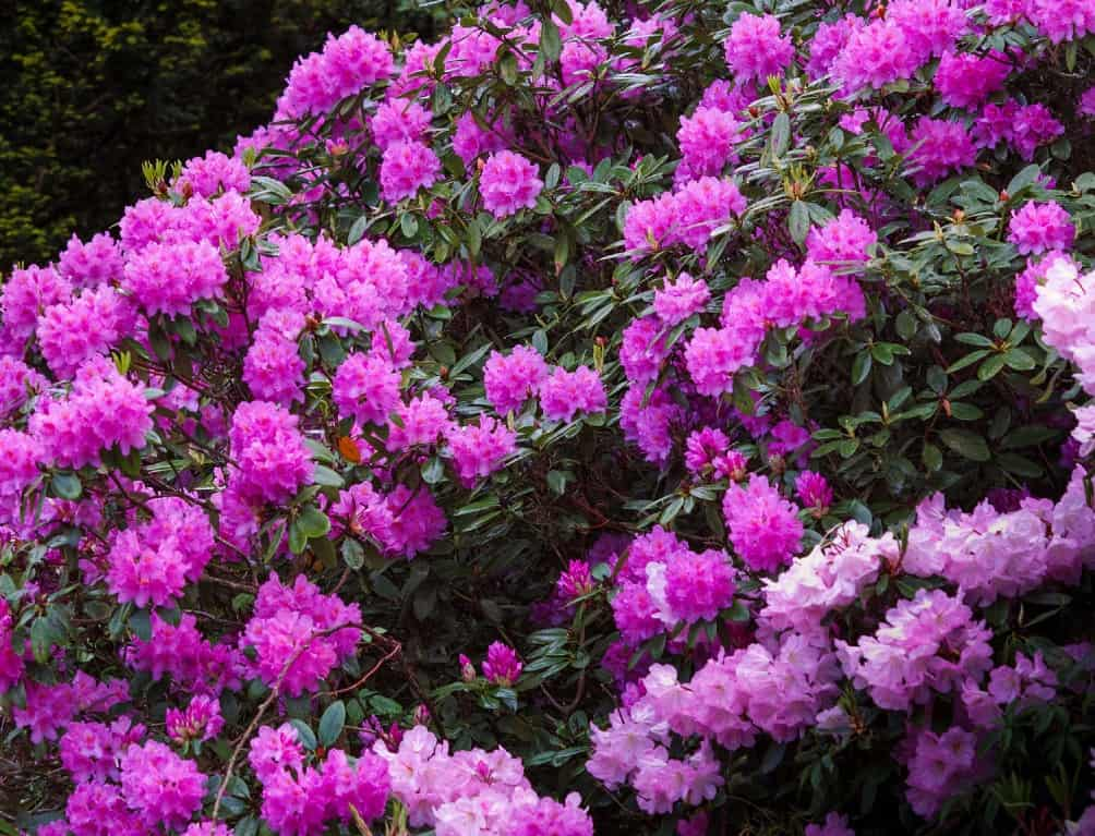 Catawba rhododendrons are poisonous shade shrubs.
