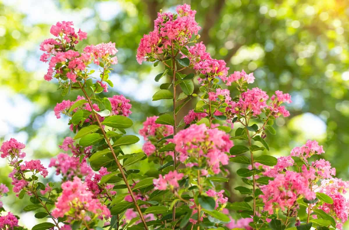 Crape myrtles are attractive fast-growing shrubs.