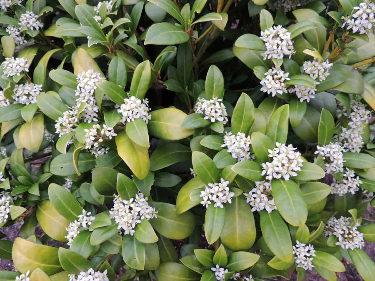 Daphne produces attractive winter flowers.