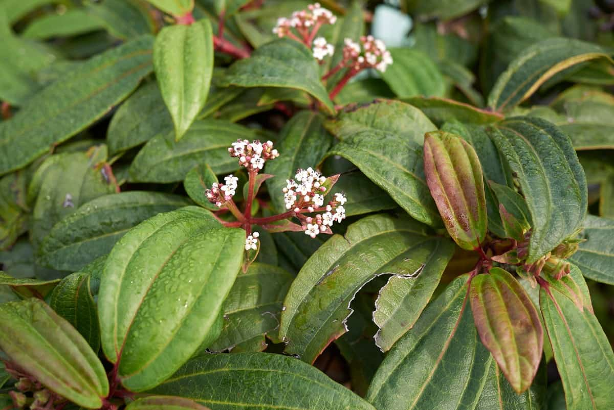 The David viburnum is a low maintenance shrub.