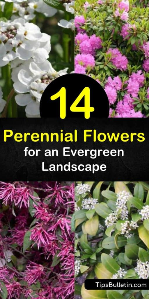 Discover the beauty of year-round color by growing evergreen perennials. Plant bush lily and lenten rose (Helleborus orientalis), and enjoy flowers in early spring, late spring, late summer, and even the fall. #evergreen #perennial #flowers