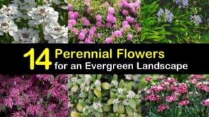 Evergreen Perennial Flowers titleimg1