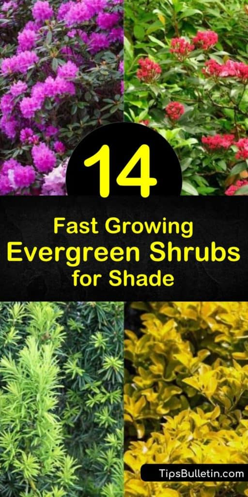 Discover evergreen shrubs that grow quickly in full or partial shade. Choose the Chinese quinine, similar to hydrangea, or the Japanese yew, which has bright red berries. Or plant Japanese privet to enjoy dark green leaves and white flowers in late spring. #shrubs #evergreens #shade #grow #fast