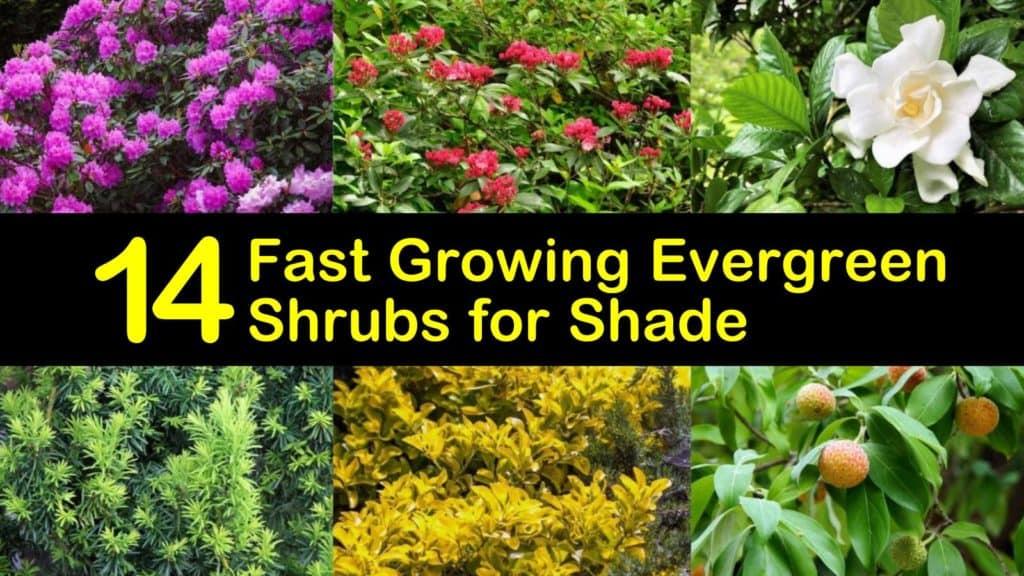 Fast Growing Evergreen Shrubs for Shade titleimg1