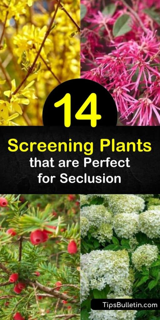 Design and create your dream privacy screen with a plant like privet, hydrangea, and viburnum. This list of shrubs for screening bloom from early spring to winter when in full sun, act as a natural windbreak, and block your view from unpleasant sights. #fastgrowing #shrubs #screening