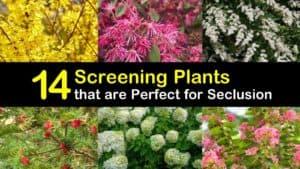 Fast Growing Shrubs for Screening titleimg1