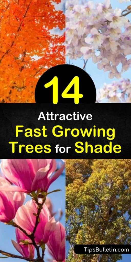 Explore the potential of a new yard with trees like the river birch, weeping willow, dawn redwood, hybrid poplar, and silver maple. These trees have a quick growth rate while providing ample shade, fall color, and surviving in vast hardiness zones. #fast #growing #shade #trees