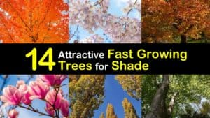 Fast Growing Trees for Shade titleimg1