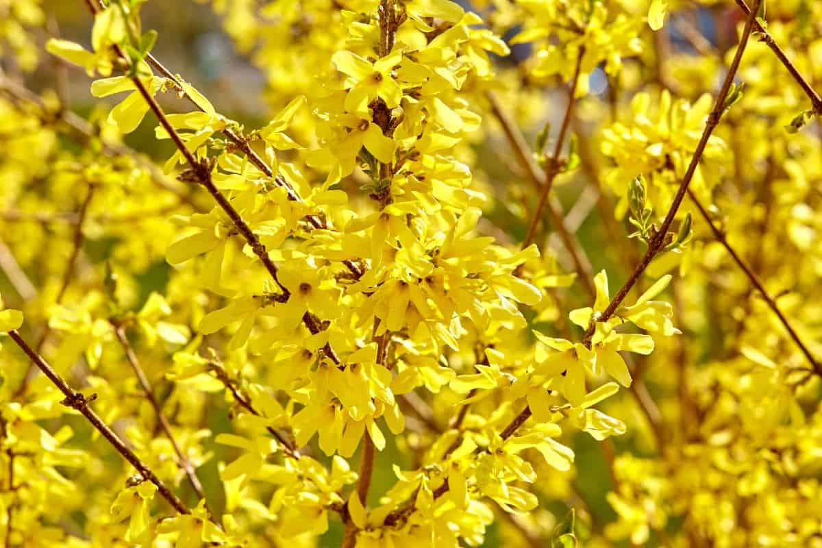 Forsythia is best known for its brilliant yellow flowers in early spring.